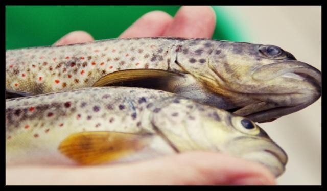 fisk 3