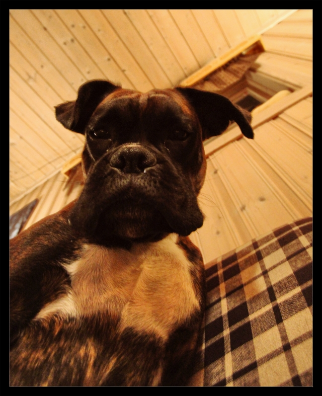 boxer samson sofa