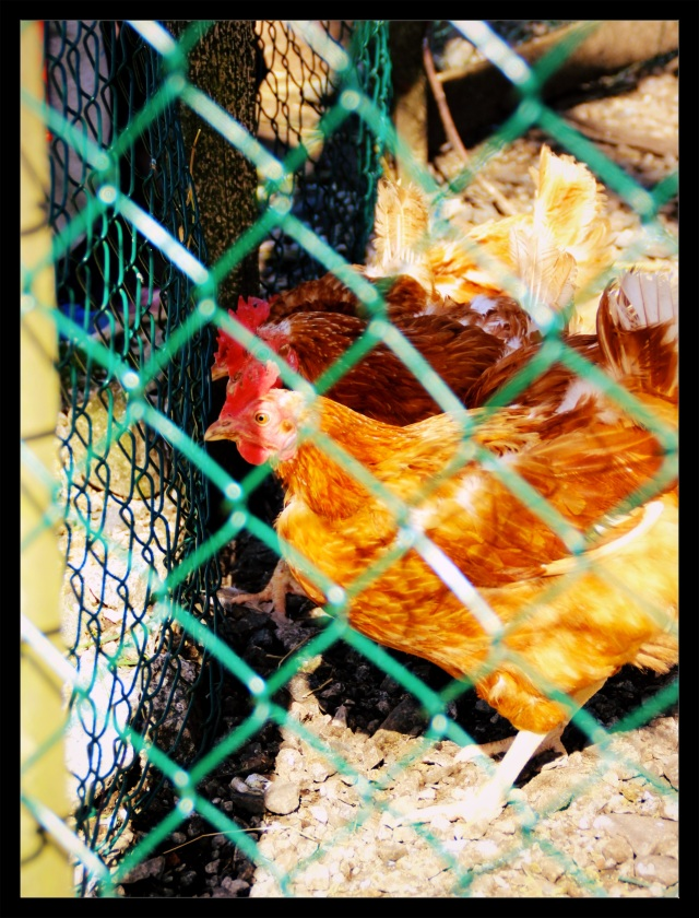 barnas turlag hønsehus 1