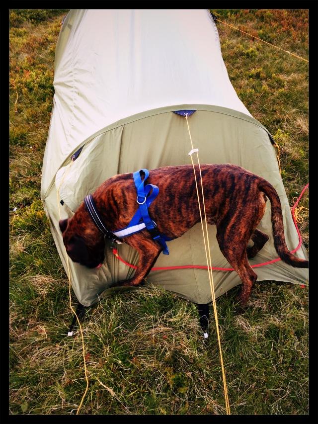 telttur med hund